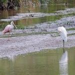Rare pink water bird lands in Michigan, delighting public